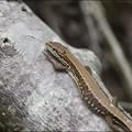鹿沼のカナヘビ