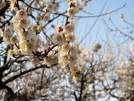 名古屋城の梅(長束)