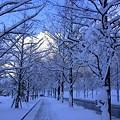 写真: メタセコイアの並木道(1) 雪