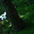 写真: ハナミズキ一輪!木の根元から=*^-^*=にこっ♪
