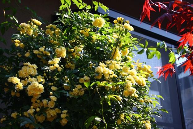 写真: 窓辺の花束! モッコウバラ
