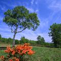 レンゲツツジ咲く