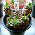 Photos: Euphorbia 'Gabizan' ユーフォルビア 峨眉山(ガビザン)