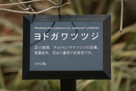 淀川躑躅(ヨドガワツツジ)