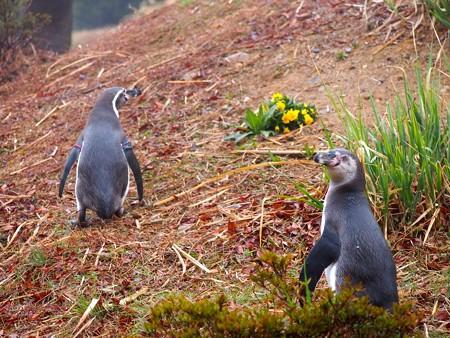 20140330 ペンヒル 雨のペンギンヒルズ06