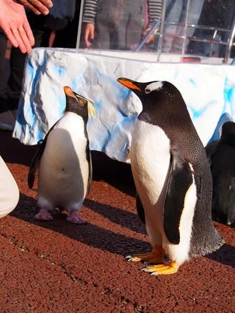 20131207 アドベン ペンギンパレード29