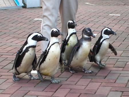 20131206 アドベン ペンギンパレード01