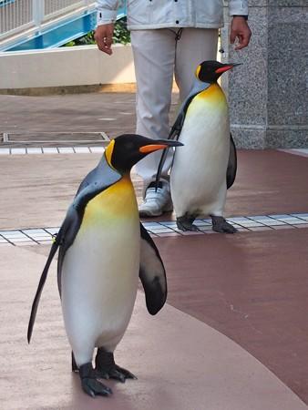 20131206 アドベン ペンギンパレード02