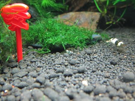 20140624 60cmエビ水槽の稚エビ
