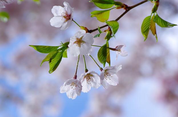 桜 咲きました 6