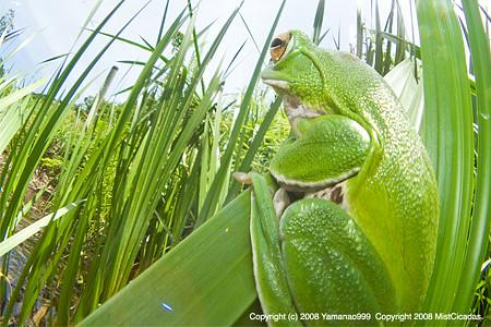 ひと雨降るのを待つ、杜青蛙