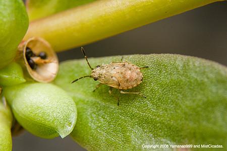 ヒメナガカメムシ(幼虫)