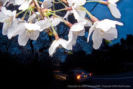 卯辰山の夜桜 その1