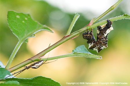 オカモトトゲエダシャク(幼虫)