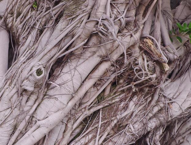 ガジュマルの樹。花無い。