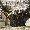 1266淡墨桜