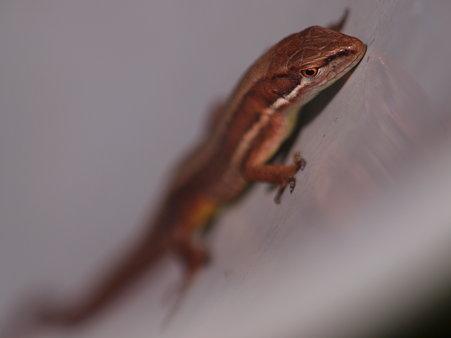バケツがすきな蜥蜴