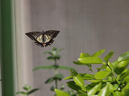 アゲハチョウの空中の舞い姿