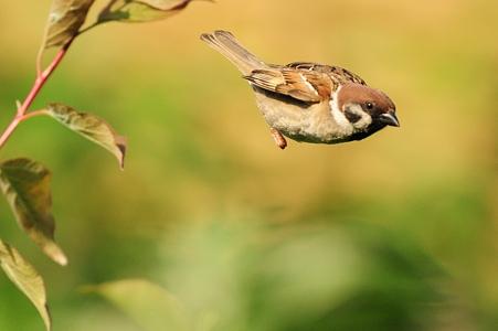 飛んでる雀たち