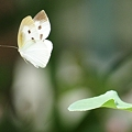写真: モンシロチョウが飛んでいましたっ