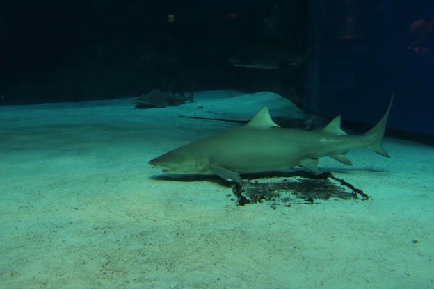 美ら海水族館・危険ザメの海の水槽(2014/04/30)