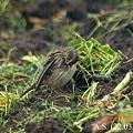 写真: Rosy Pipit(羽繕い)