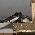 Photos: 巣の中を見つめるママ