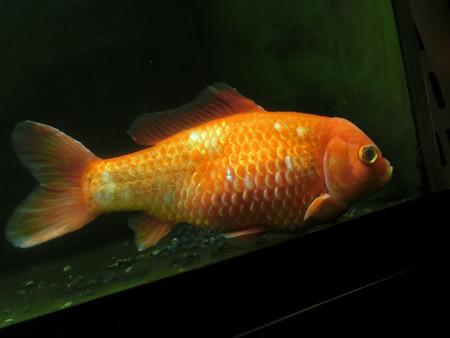 長生き金魚
