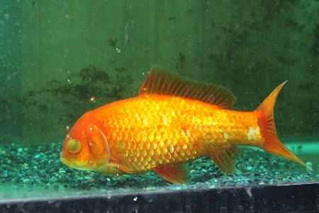金魚の白内障