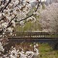 Photos: 『チシマ桜』DSC06885