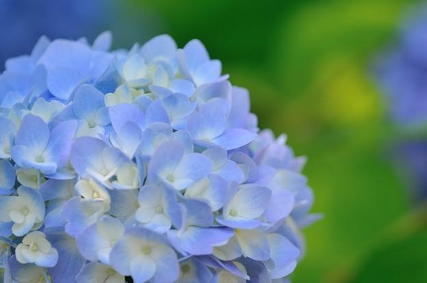 【紫陽花:ヒメアジサイ】(3)