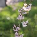 Photos: IMG_6416京都府立植物園・紅枝垂桜