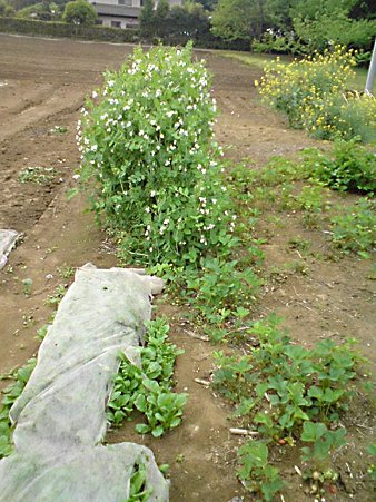 ゚+。(〃′ω`〃)。゚+.ツタンカーメンの豆と苺と紫蘭の巻