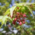 紅葉(もみじ)の花
