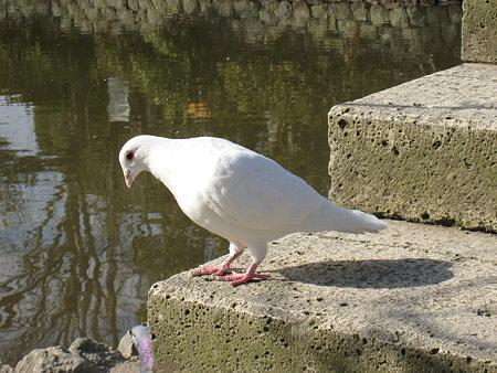 鶴岡八幡宮の白い鳩