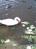 数年前の藺牟田池の白鳥です...