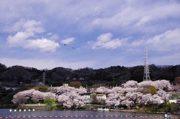 津久井湖さくら祭り03「ダム湖にトンビ遊ぶ」