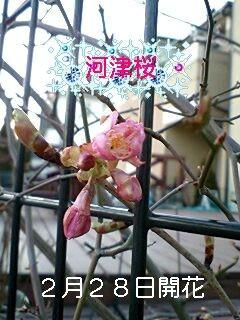 河津桜、開花。