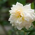 Photos: 淡い黄色の薔薇