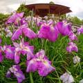 Photos: 2014年6月6日 駿府城公園紅葉山庭園 花菖蒲(2) HDR