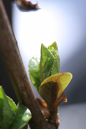 アジサイの芽