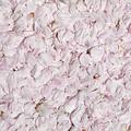 写真: 一面に桜の花びら