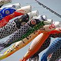 写真: 泳げ鯉のぼり相模川