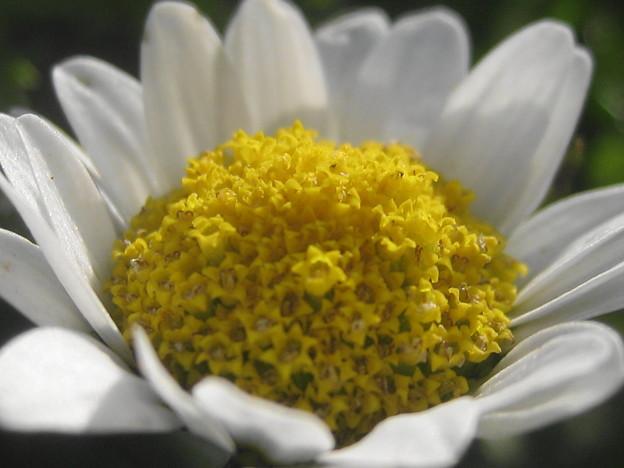 ノースポールの花3