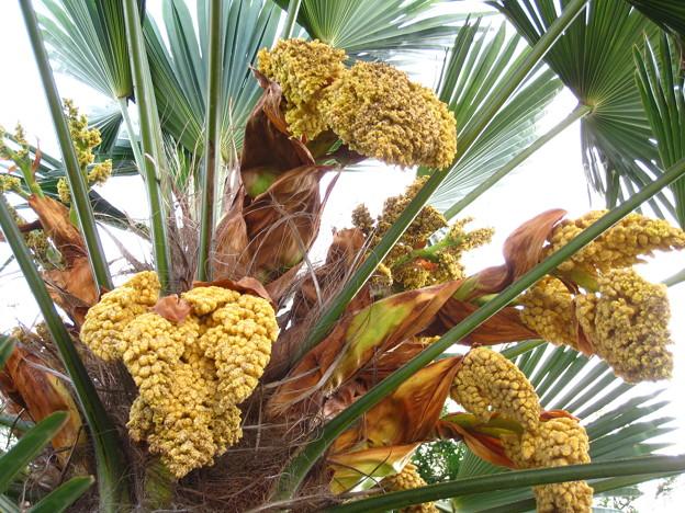 棕櫚(椰子科)