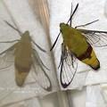 Photos: 鱗粉の落ちた透明度の高い翅。(オオスカシバ飼育。鱗粉)