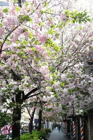 P1110991八重桜c?