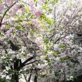 Photos: P1110991八重桜c?