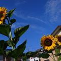 写真: 青空向日葵