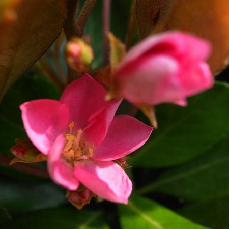 葉奥の花色
